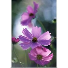 Poster Print Wall Art entitled Mexican aster flowers (Cosmos bipinnatus)