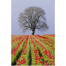 Poster Print Wall Art entitled Tulip fields and a lone oak tree located near