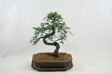 Bonsai Tree Indoor / Outdoor 12 Year Old Unglazed Pot & Matching Tray