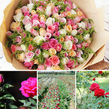 Wholesale 50 Colorful Rose Flower Seeds Yard Garden Plant Decor Home Beautiful