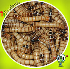 Live Superworms Free shipping - Small, Medium,  Large 250, 500,1000, 2000, 3000