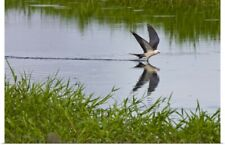 Poster Print Wall Art entitled The Swallow-tailed Kite