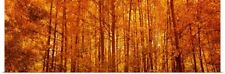 Poster Print Wall Art entitled Aspen trees at sunrise in autumn, Colorado
