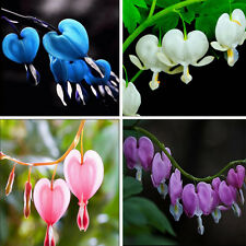10pcs Perennial Spectabilis Herbs Dicentra Bleeding Heart Shade Flower Seeds SJ