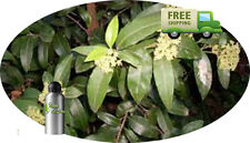 PURE CITRIODORA ESSENTIAL OIL Eucalyptus Citriodora Oil NATURAL ESSENTIAL OILS