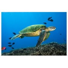 Poster Print Wall Art entitled Hawaii, Green Sea Turtle swimming in the Pacific