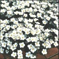 Outsidepride Nierembergia White Robe Ground Cover Seeds