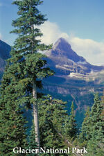 CONIFER TREE GLACIER PARK MONTANA TRAVEL REPRO POSTER
