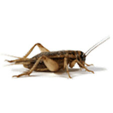 "Crickets 1/16"" (Pinheads) Live Original Brown Crickets, From 500 to 4000 Counts"