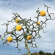 Trifoliate Orange (Poncirus trifoliata) 1 seedling (multiple item listing)