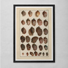ANTIQUE SEASHELL PRINT- Nautical Nature Print - Professional Reproduction - Naut