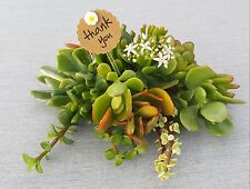 Jade Collection Succulent Variety Crassula Variegate Bonsai Assorted Your Choice