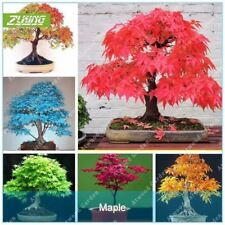 20 Pcs Blue Fire Rare Yellow Red Japanese Maple Tree Seeds Bonsai