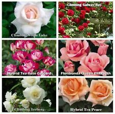 1 FRAGRANT CLIMBING / BUSH ROSE BARE ROOTED PLANT SHRUB RED PURPLE WHITE ORANGE