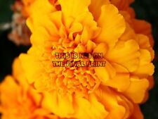 NATURE BOTANY FLOWER MARIGOLD PETAL POSTER ART PRINT HOME PICTURE