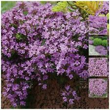 "Creeping Thyme ""MAUVE AVALANCHE™"" seeds. Mauve flowering perennial groundcover."