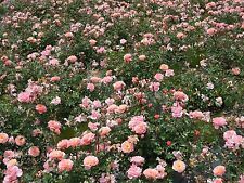 Rose Drift Apricot Disease Resistant Drought Tolerant, from Knockout Roses