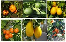 Grafted Patio Citrus Trees - Grow your own citrus