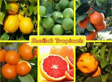Florida Citrus Trees - 1.5 Years Old - Grafted & Healthy!