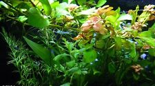 5 Bunched tropical Aquarium traditional Local Aquatic water plants fish Live