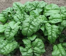 Spinach Seeds - Giant Noble - Grow Your Own Vegetables From Seeds - GMO FREE