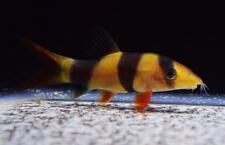 1 CLOWN LOACH moss java shrimp guppy (Combine shipping)