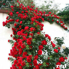 100-500 Climbing Rose Seeds Rosa Multiflora Perennial Fragrant Flower Home Decor
