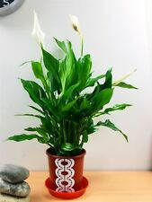 1 Peace Lily Spathiphyllum Indoor House Plant in Pot Air Cleaner Freshener