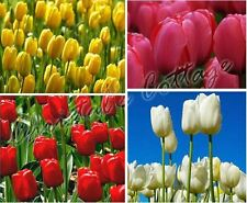 8 PLAIN COLOUR TULIPS AUTUMN GARDENING SPRING FLOWER BULB CORM RED PINK WHITE