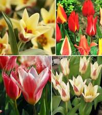 Tulip Rockery Spring Flowering Mixed Colour Gardening Bulb Corm Perennial Plant