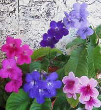 Hybrid Streptocarpus Seeds - Cape Primrose - Mixed Colours