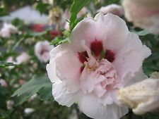 "ROSE of SHARON *Bali* ~White-semi double~ ""Hibiscus Syriacus"" Perennial SEEDS"