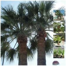 "Washingtonia Filifera ""California Fan Palm"", seeds of hardy landscape variety."