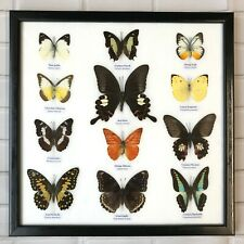 12 FRAMED BUTTERFLIES REAL SPECIMENS BUTTERFLY PICTURE FRAME TAXIDERMY INSECT