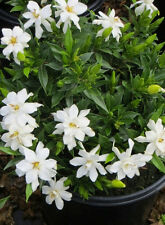 Gardenia Frost Proof, fragrant white flowers, deer resistant, border or accent