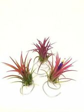 3 Tillandsia Ionantha Fuego Pack - air plant - indoor outdoor houseplant