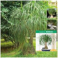 "Beaucarnea Recurvata ""Ponytail Palm"" seeds. Hardy landscape tree, plant, bonsai."