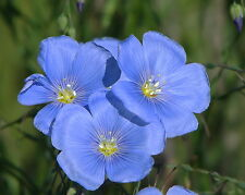 "BLUE FLAX ""Linum Perenne Saphire"" ~Small, ferny green leaves~ Perennial Seeds"