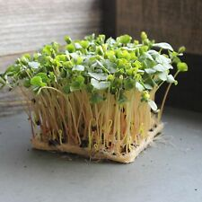ORGANIC WHOLE (SHELL ON) BUCKWHEAT SEEDS- GROW BUCK WHEAT SPROUTS GREENS AT HOME
