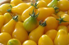 Yellow Pear Tomato Seeds, NON-GMO, Heirloom, Sweet & Juicy, FREE SHIPPING