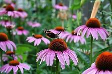 ** Purple Coneflower Seeds - Echinacea purpurea - Perennial Flower Seeds Sale **