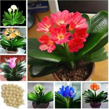 1 Pcs clivia seeds plants bonsai garden flower seed