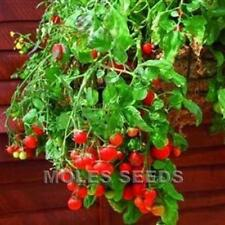 TOMATO RED TUMBLING TOM TRAILING HANGING BASKET TOMATO 10 to 100 seed MULTIPLE