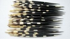 Taxidermy REAL Porcupine quill (Sold per unit - ONE QUILL) M, L or XL (You pick)