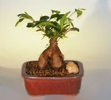 "Ginseng Ficus Bonsai Tree Indoor Evergreen Bonsai  7 yr 9"" tall"