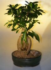 "Ginseng Ficus Bonsai Tree Indoor Evergreen Bonsai  15 yr 15-16"" tall"