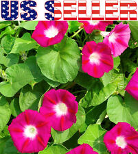 50+ Japanese Morning Glory Scarlet O'Hara Seeds Flower Ipomea Nil Pink From USA
