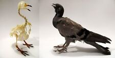 Pigeon Bird Mount or Skeleton (You Pick) Taxidermy REAL Complete