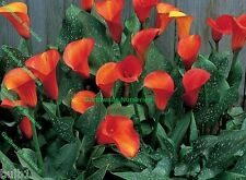 POTTED 1 LITRE ZANTEDESCHIA FLAME CALLA(ARUM )LILY ORANGE BULBS SUMMER PERENNIAL