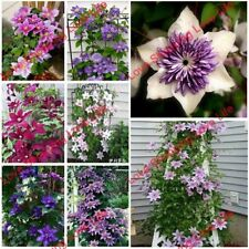 50 Pcs Vine Clematis Seeds, Potted Clematis Garden Flowers, Not Clematis Bulbs